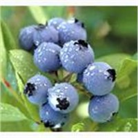 Blueberry Extract (Anthocyanin, Arbutin)