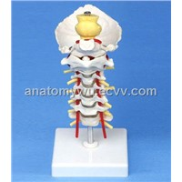 Occipital Cervical Spine Model Attached