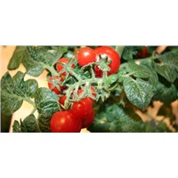 led tomato growing light