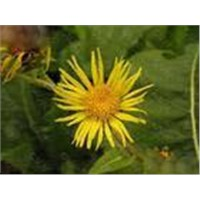 Inula helinum L. Extract