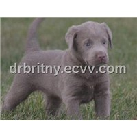 Silver labs AKC for sale