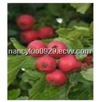 Hawthorn Extract with Flavones 2%-10%