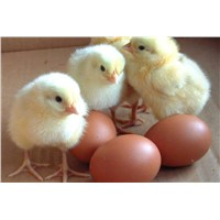 Broiler hatching eggs Cobb500 and Ross308