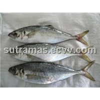 frozen WR sardine fish