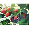 High quality Mulberry Extract(Anthocyanin 5%-25%) for Whithening Skin