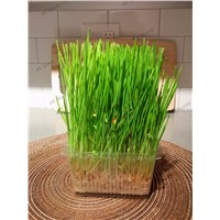 1000 pcs Golden Forest Grass Seeds, Perennial Evergreen Lawn Seeds, Beautiful Garden Ornamental Plant, Easy to Grow.