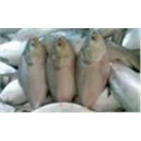 Frozen Whole Hilsa Grade A HOT SALES