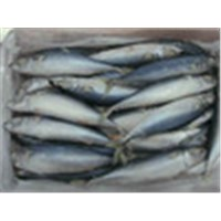 Fresh Frozen Bonito Fish