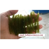 Fresh Seagrape Seaweed with High Quality
