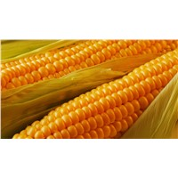Yellow Corn (Russia Origin)
