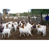 Boer Goats, Lambs & Cows, Live Sheep, Cattle